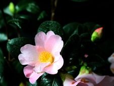 Free Flower, Plant, Flowering Plant, Japanese Camellia Royalty Free Stock Images - 113065199