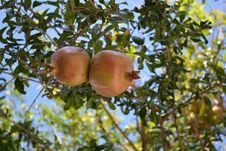 Free Fruit Tree, Tree, Fruit, Branch Royalty Free Stock Photo - 113065495