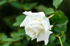 Free Flower, Rose Family, White, Rose Royalty Free Stock Photos - 113066398