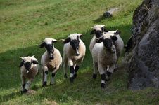 Free Sheep, Pasture, Herd, Cow Goat Family Royalty Free Stock Images - 113066609