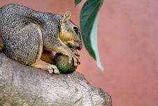 Free Mammal, Fauna, Squirrel, Fox Squirrel Stock Photo - 113067130