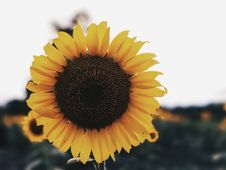 Free Flower, Sunflower, Yellow, Sunflower Seed Stock Photo - 113067330