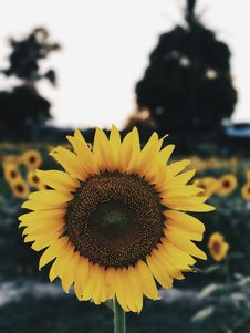 Free Sunflower, Flower, Yellow, Sunflower Seed Stock Photos - 113067353