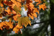 Free Leaf, Autumn, Maple Leaf, Branch Stock Photo - 113067980