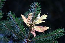 Free Pine Family, Spruce, Conifer, Tree Royalty Free Stock Images - 113068109
