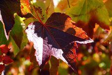 Free Leaf, Maple Leaf, Autumn, Deciduous Stock Images - 113068764