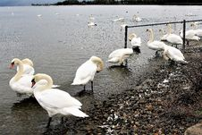Free Bird, Swan, Water Bird, Ducks Geese And Swans Stock Images - 113069274