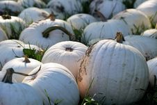 Free Winter Squash, Cucurbita, Gourd, Pumpkin Royalty Free Stock Image - 113069276