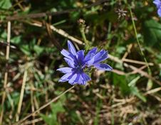 Free Plant, Flora, Flower, Chicory Royalty Free Stock Photography - 113069357