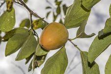 Free Fruit Tree, Fruit, Diospyros, Citrus Stock Photos - 113146533