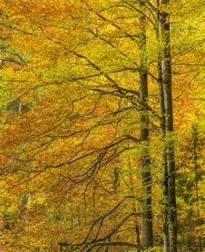 Free Temperate Broadleaf And Mixed Forest, Nature, Ecosystem, Yellow Stock Image - 113146551