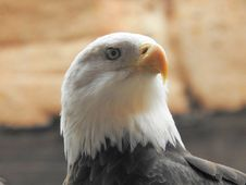 Free Bird, Bird Of Prey, Beak, Eagle Royalty Free Stock Photos - 113147048