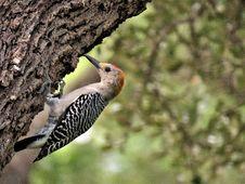 Free Bird, Woodpecker, Fauna, Beak Royalty Free Stock Photography - 113147627