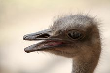 Free Ostrich, Beak, Fauna, Ratite Royalty Free Stock Photos - 113147958