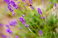 Free Flower, Lavender, English Lavender, Purple Royalty Free Stock Photo - 113148215