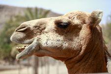 Free Camel, Camel Like Mammal, Arabian Camel, Fauna Stock Photo - 113148680