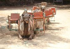 Free Camel Like Mammal, Camel, Arabian Camel, Pack Animal Royalty Free Stock Photos - 113148698