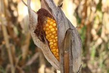 Free Commodity, Maize Stock Image - 113149691