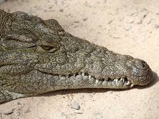 Free Crocodilia, Crocodile, Reptile, Nile Crocodile Stock Photography - 113150492