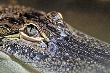 Free Crocodilia, Reptile, Crocodile, American Alligator Stock Images - 113150574