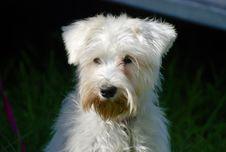 Free Dog, Dog Breed, Dog Like Mammal, Terrier Stock Photography - 113150662