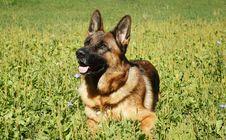 Free Dog, German Shepherd Dog, Dog Breed, Old German Shepherd Dog Stock Images - 113151744