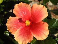 Free Flower, Hibiscus, Flowering Plant, Chinese Hibiscus Royalty Free Stock Image - 113153396