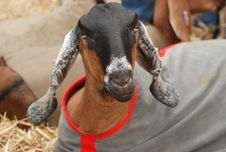 Free Goats, Goat, Livestock, Cow Goat Family Royalty Free Stock Photos - 113154938
