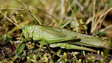 Free Insect, Grasshopper, Locust, Cricket Like Insect Royalty Free Stock Image - 113155566