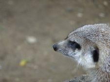 Free Meerkat, Mammal, Fauna, Terrestrial Animal Royalty Free Stock Photo - 113155995