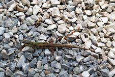 Free Reptile, Fauna, Scaled Reptile, Lacertidae Royalty Free Stock Images - 113158479