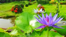 Free Flower, Plant, Water, Aquatic Plant Royalty Free Stock Photography - 113158697