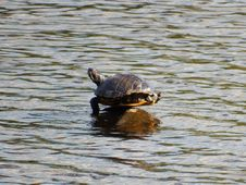 Free Turtle, Water, Tortoise, Fauna Royalty Free Stock Images - 113160639