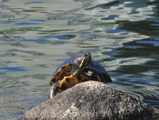Free Turtle, Water, Tortoise, Sea Turtle Stock Photography - 113160652