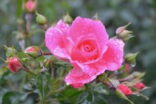 Free Flower, Rose Family, Floribunda, Flowering Plant Royalty Free Stock Images - 113161199