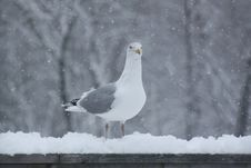 Free Bird, Gull, Seabird, European Herring Gull Stock Photography - 113165022