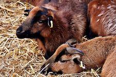 Free Goats, Horn, Goat, Fauna Royalty Free Stock Photo - 113165335