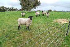 Free Pasture, Sheep, Grazing, Grassland Royalty Free Stock Image - 113165446