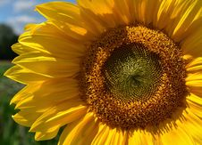 Free Sunflower, Flower, Yellow, Sunflower Seed Stock Photo - 113166900