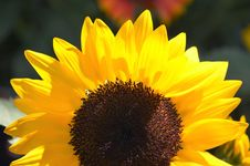 Free Flower, Sunflower, Yellow, Sunflower Seed Royalty Free Stock Photography - 113166957