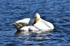 Free Bird, Swan, Water Bird, Ducks Geese And Swans Royalty Free Stock Photography - 113167347