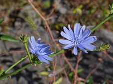 Free Plant, Flora, Chicory, Flower Stock Photo - 113170600