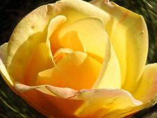 Free Yellow, Flower, Rose Family, Rose Stock Images - 113240674