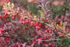 Free Plant, Branch, Heteromeles, Pistacia Lentiscus Stock Images - 113240704