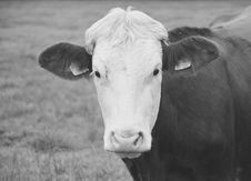 Free Cattle Like Mammal, White, Black And White, Horn Stock Image - 113240891