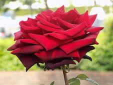 Free Flower, Rose, Red, Rose Family Stock Photos - 113241213