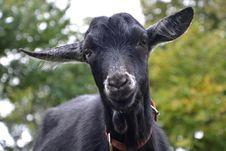Free Goats, Goat, Cow Goat Family, Goat Antelope Stock Image - 113241321