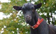 Free Goats, Goat, Cow Goat Family, Goat Antelope Royalty Free Stock Image - 113241326