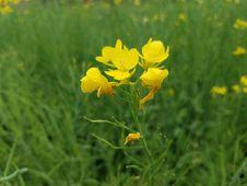 Free Flower, Yellow, Mustard Plant, Flora Stock Image - 113241611