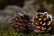 Free Fungus, Edible Mushroom, Pine Family, Mushroom Stock Photography - 113241692